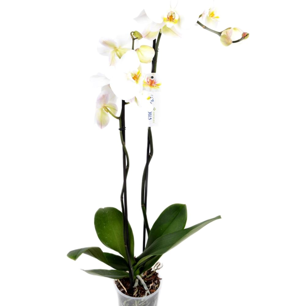 Белая орхидея Фаленопсис (2 ствола)