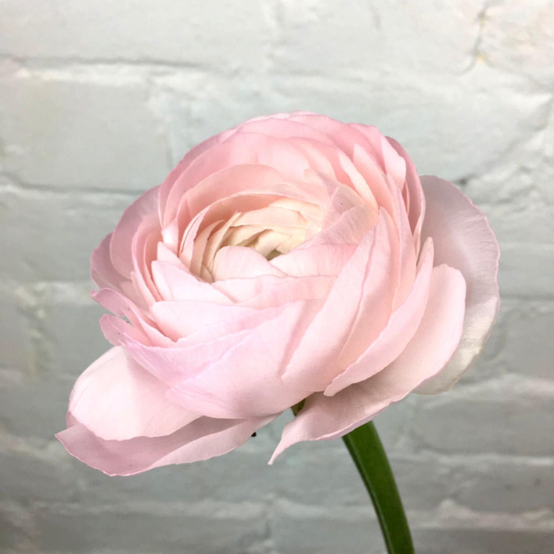 Ранункулюс нежно-розовый от 9 штук