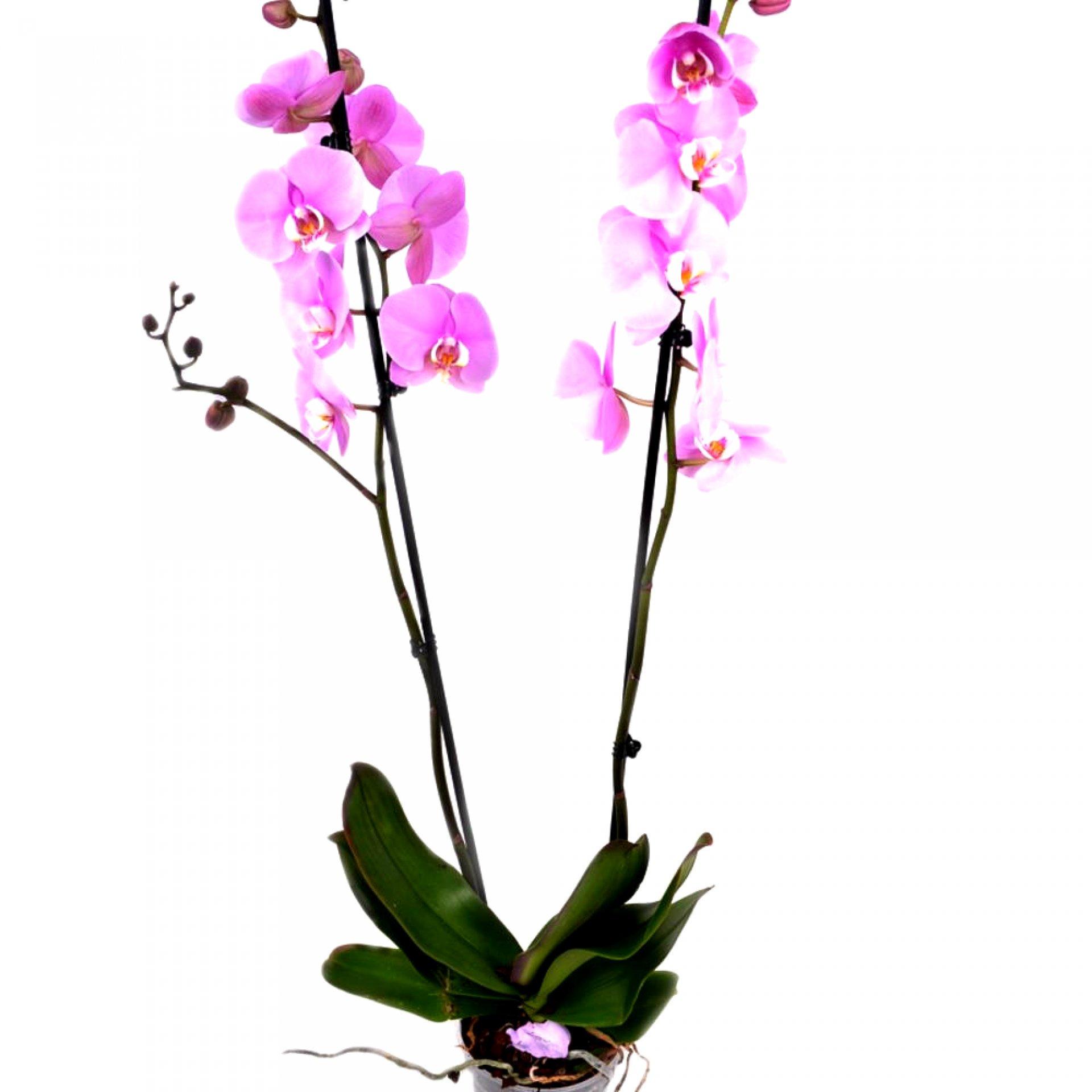 Розовая орхидея Фаленопсис (2 ствола)
